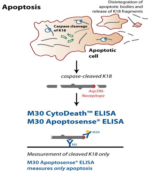 M30 apoptosis