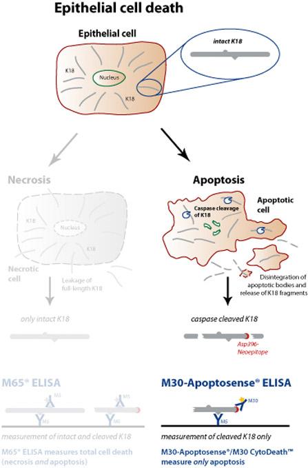Peviva M30-Apoptosense ELISA apoptosis, cell death