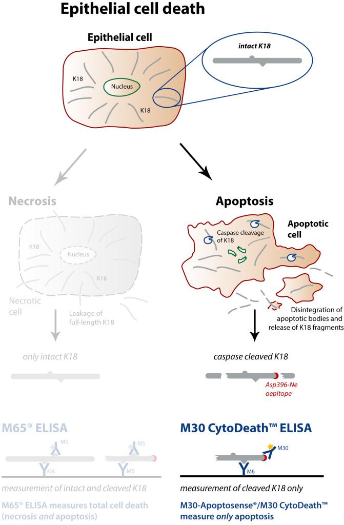 Peviva M30 CytoDeath ELISA apoptosis cell death