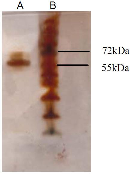 Vitronectin purified protein