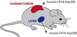 mouse xenograft