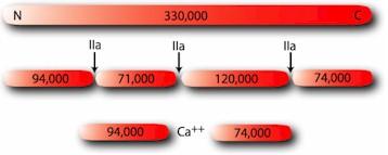 HCV-0100_BCV-0100_Factor_V