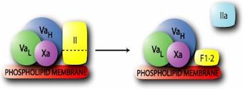 Factor Va Protein