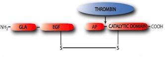 Protein C Zymogen Sample Gel