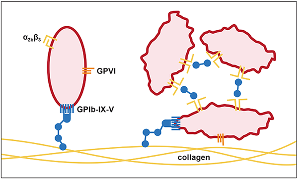 platelet adhesion activation aggregation