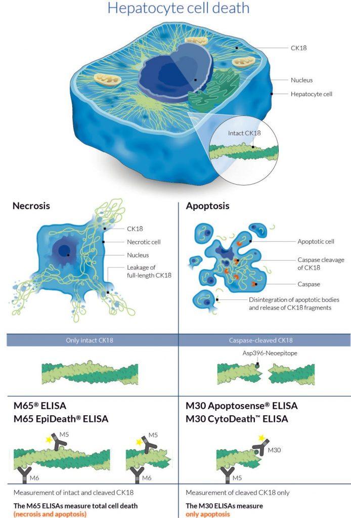 liver injury biomarker DILI TASH NASH