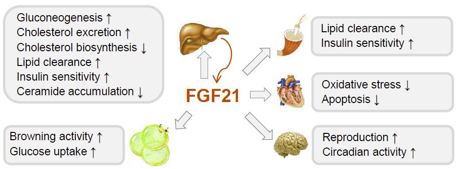 FGF21 Fibroblast Growth Factor 21 ELISA assay test kit