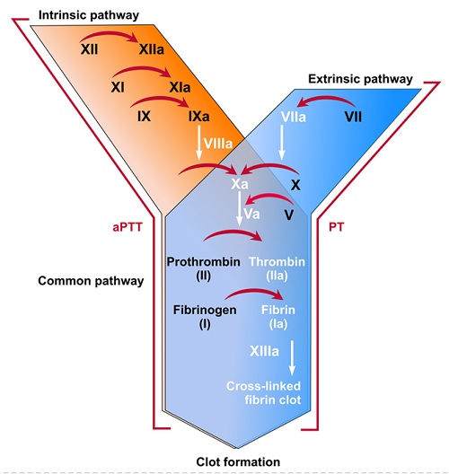 coagulation intrinsic extrinsic common pathway clot formation