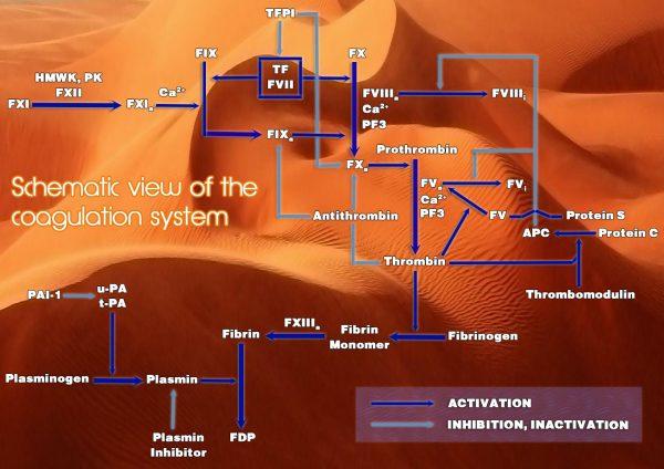 coagulation pathway scheme