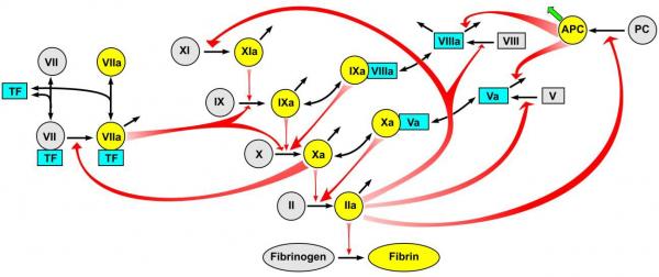 Thrombodynamics Cascade Blood Coagulation