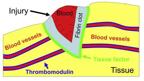 Thrombodynamics Clot Formation in Wound