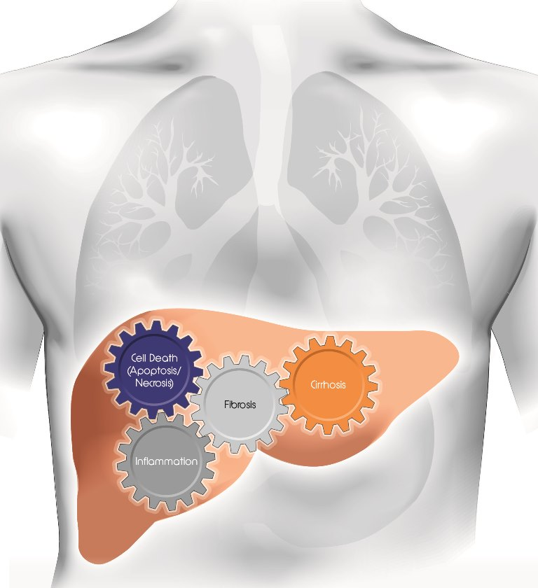 liver measurement ELISA assay