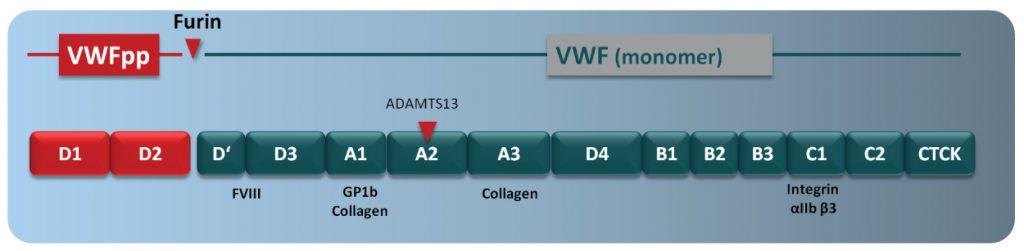 von Willebrand Factor Propeptide vWF:PP