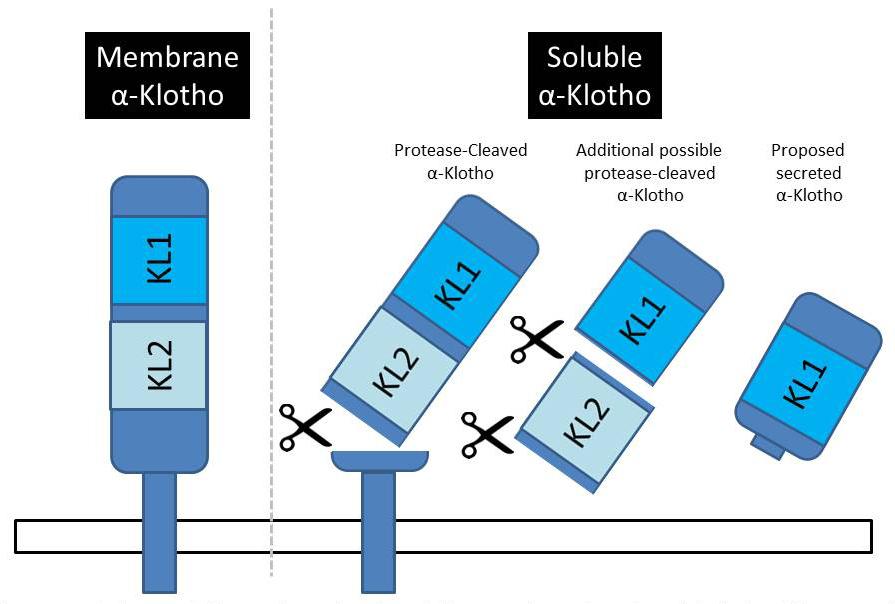 Membrane alpha-Klotho Soluble alpha-Klotho