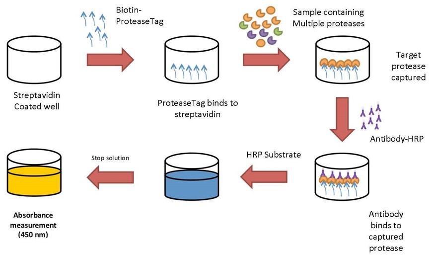 ProAxsis ProteaseTag™ Active Neutrophil Elastase Assay